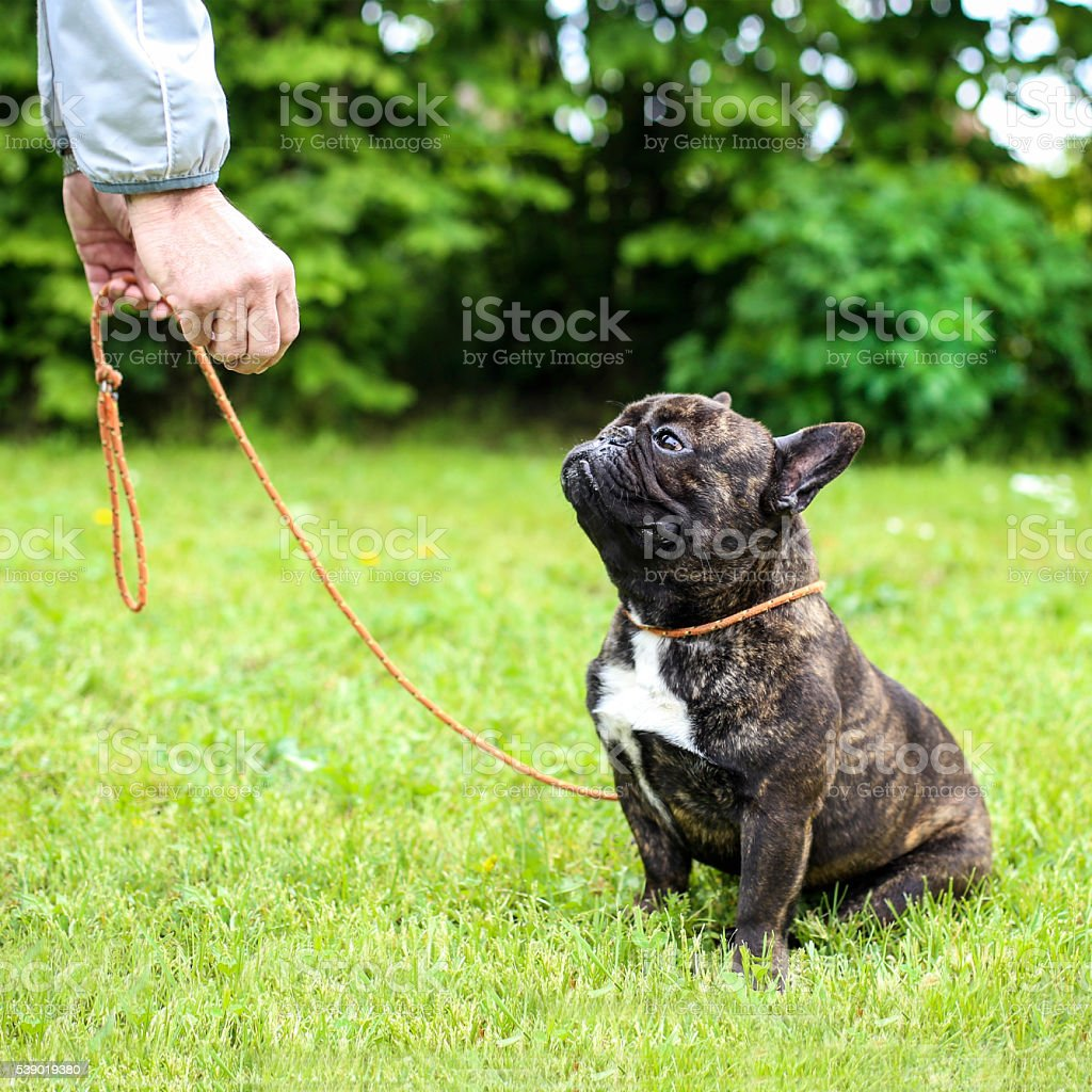 French Bulldog on leash stock photo