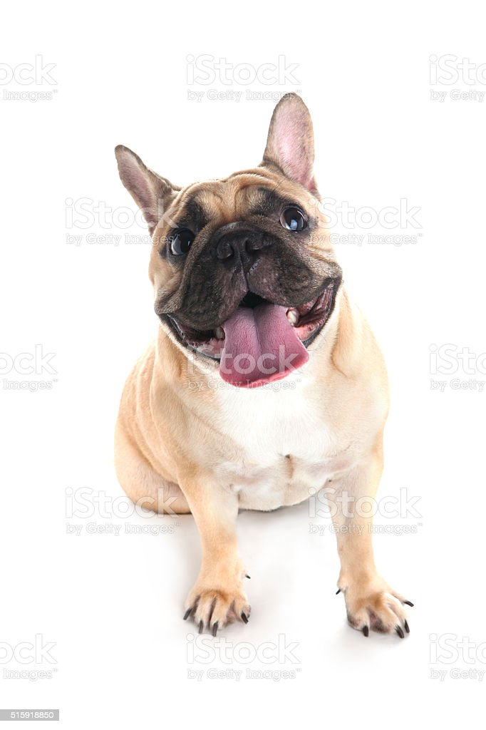 French bulldog on white background stock photo
