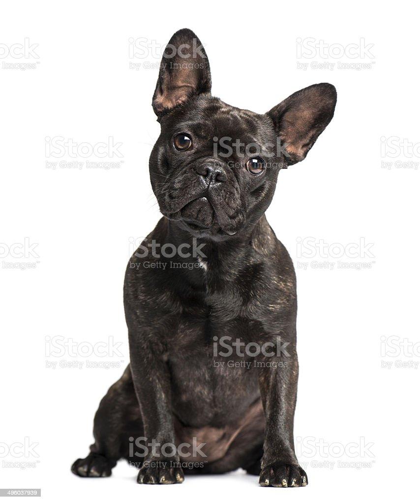 French Bulldog (1 years old) stock photo