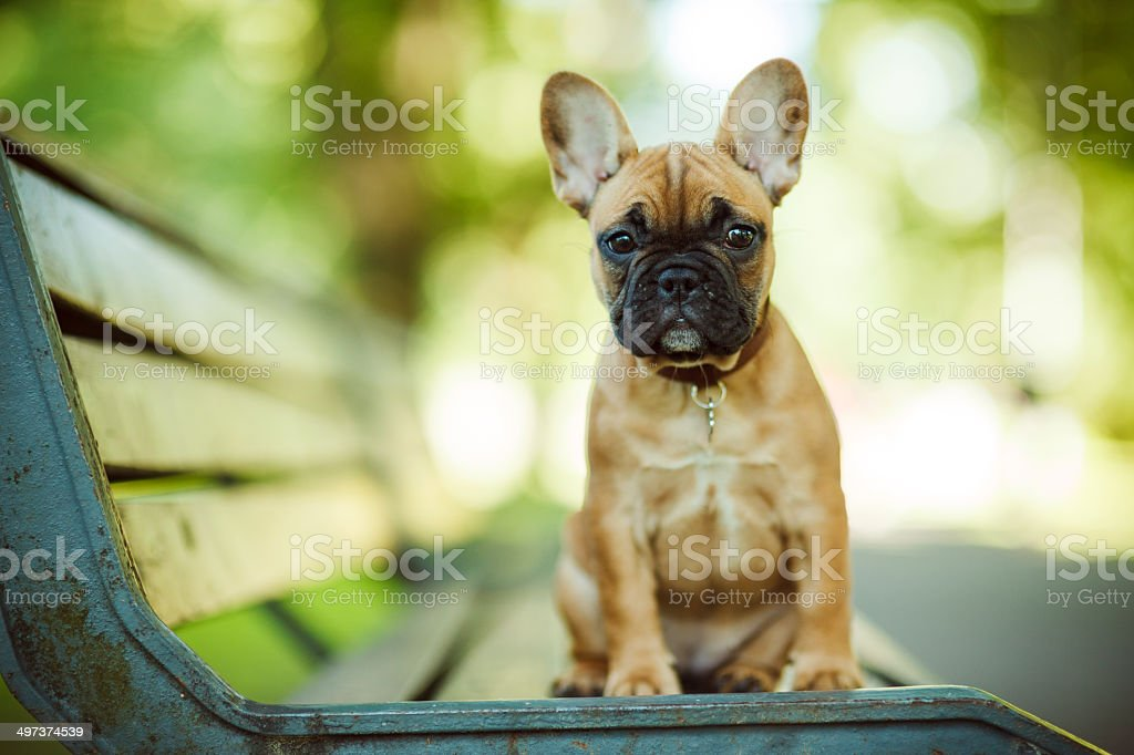 French Bulldog stock photo