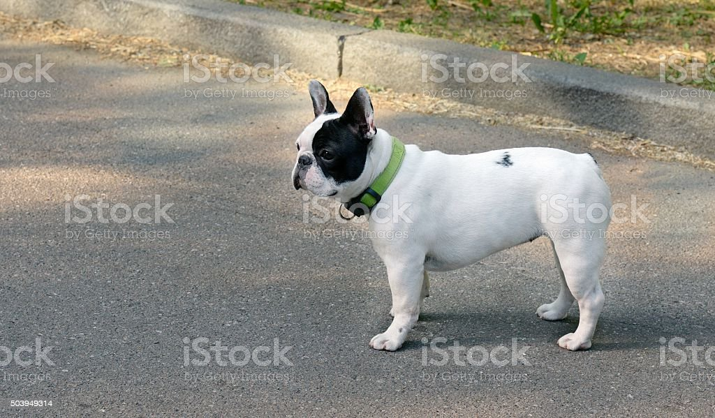 French Bulldog royalty-free stock photo