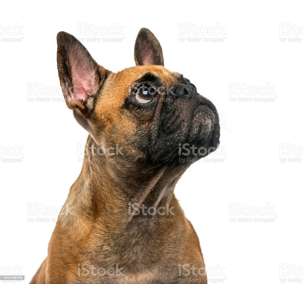 French Bulldog (2 years old) stock photo