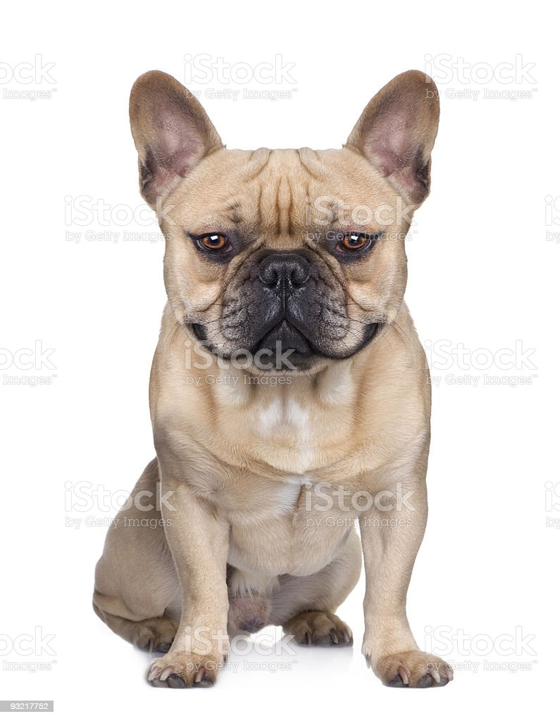 French Bulldog (1 year) (Digital enhancement) stock photo
