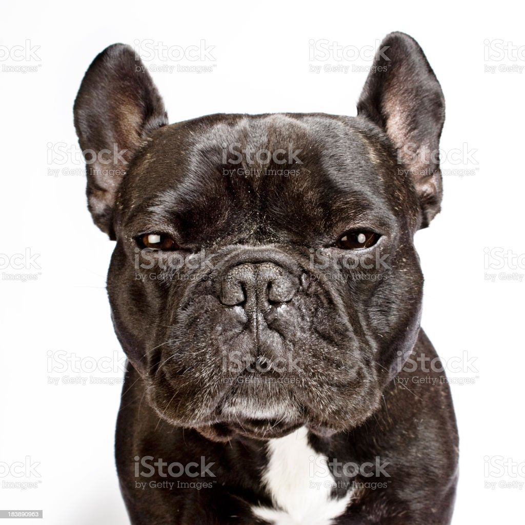 French Bulldog Portrait White Background stock photo