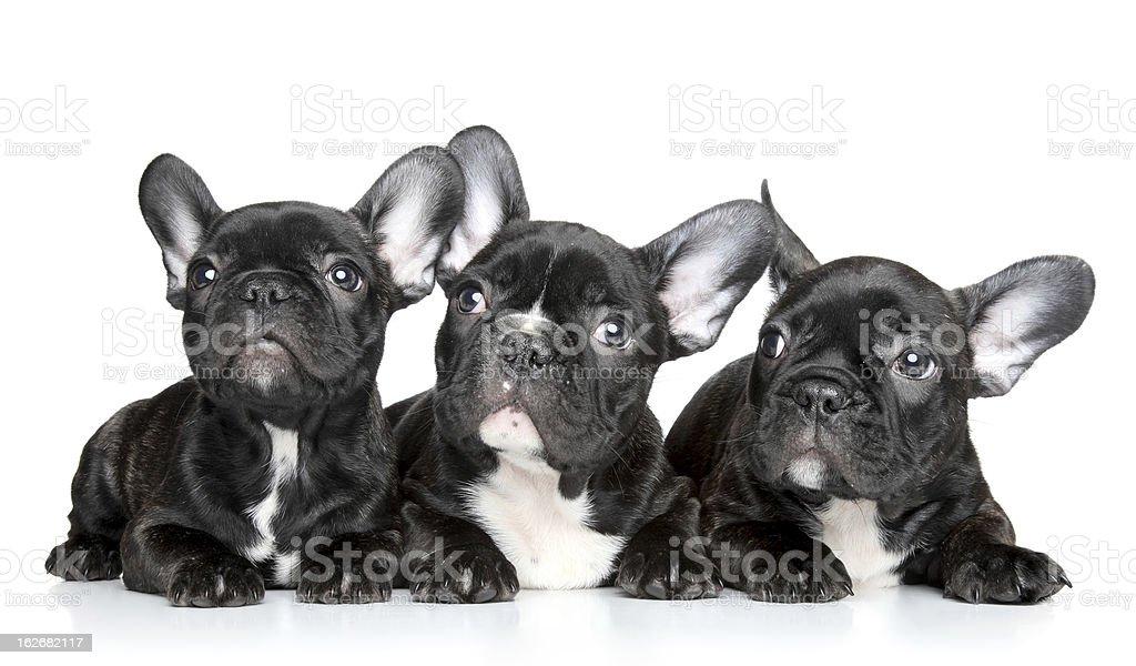 French bulldog puppies royalty-free stock photo
