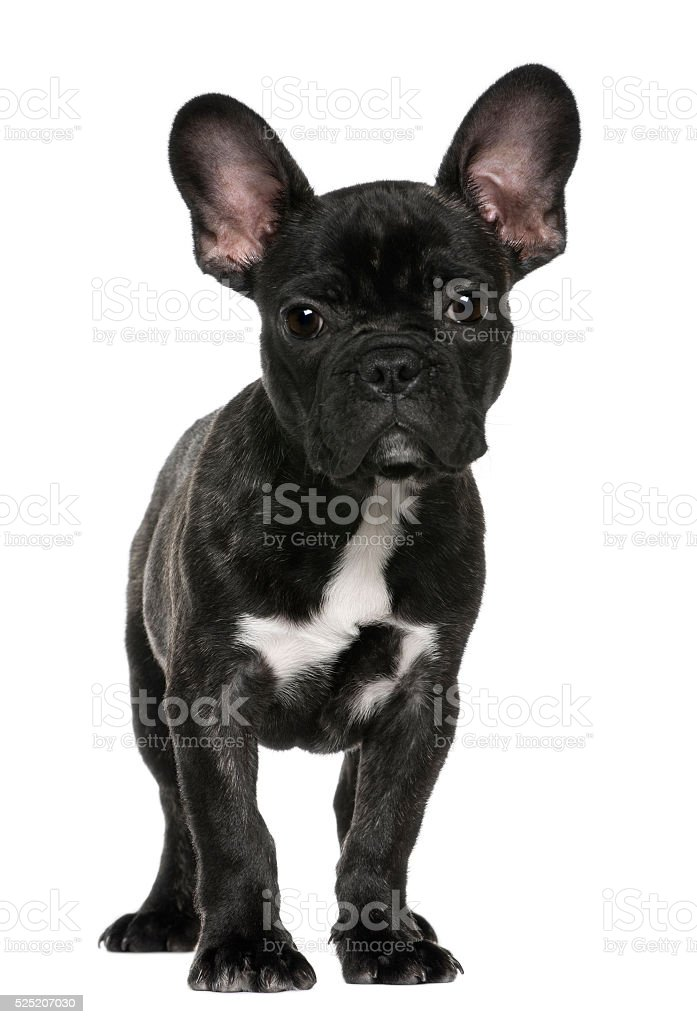 French bulldog puppy, 3 months old, standing stock photo