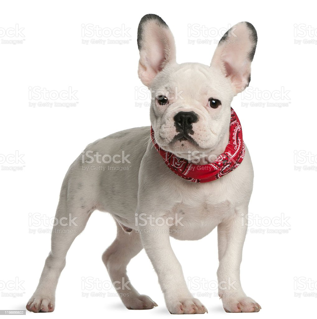 French bulldog puppy, 4 months old, standing, white background. royalty-free stock photo