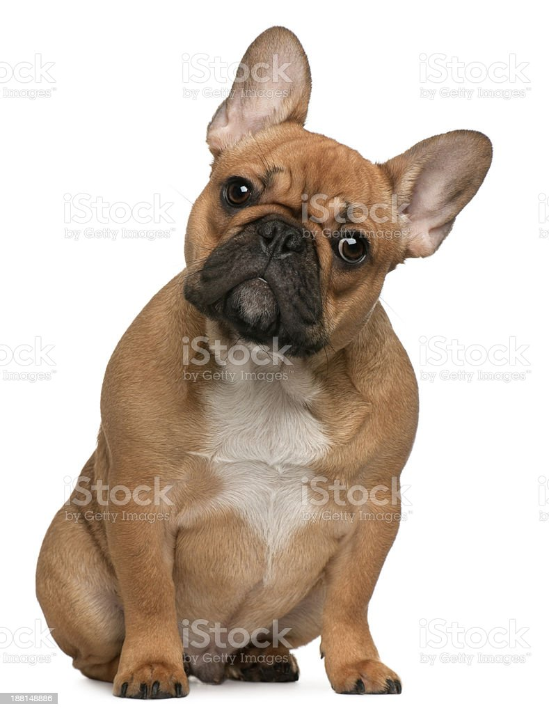 French Bulldog puppy, 5 months old, sitting, isolated on white stock photo