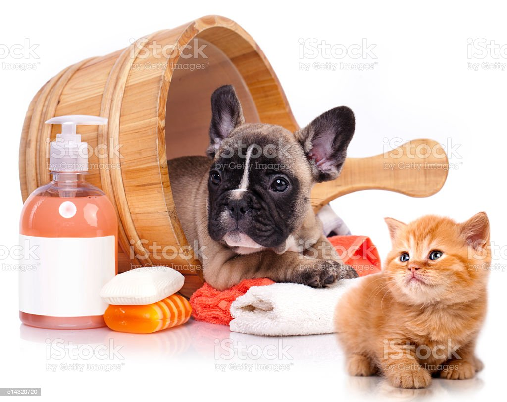 French  bulldog puppy and Kitten stock photo