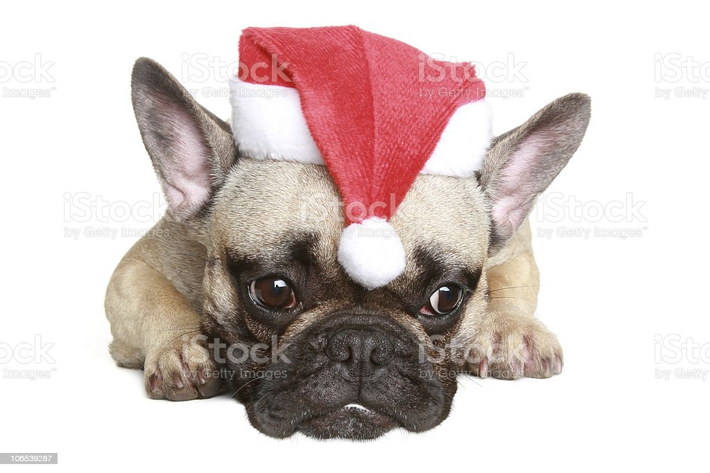 French bulldog puppy in christmas hat royalty-free stock photo