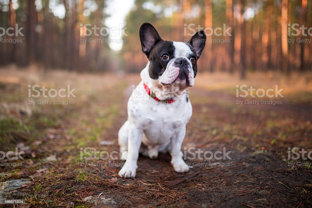 French bulldog puppy in the forest stock photo