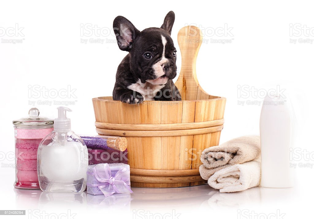 French bulldog puppy in wooden wash stock photo