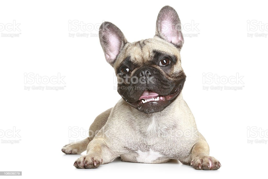 A French bulldog puppy on a white background stock photo