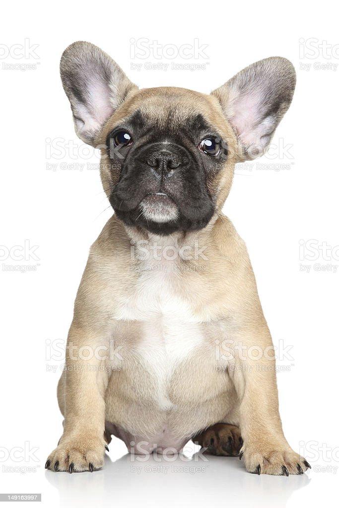 French bulldog puppy on a white background stock photo
