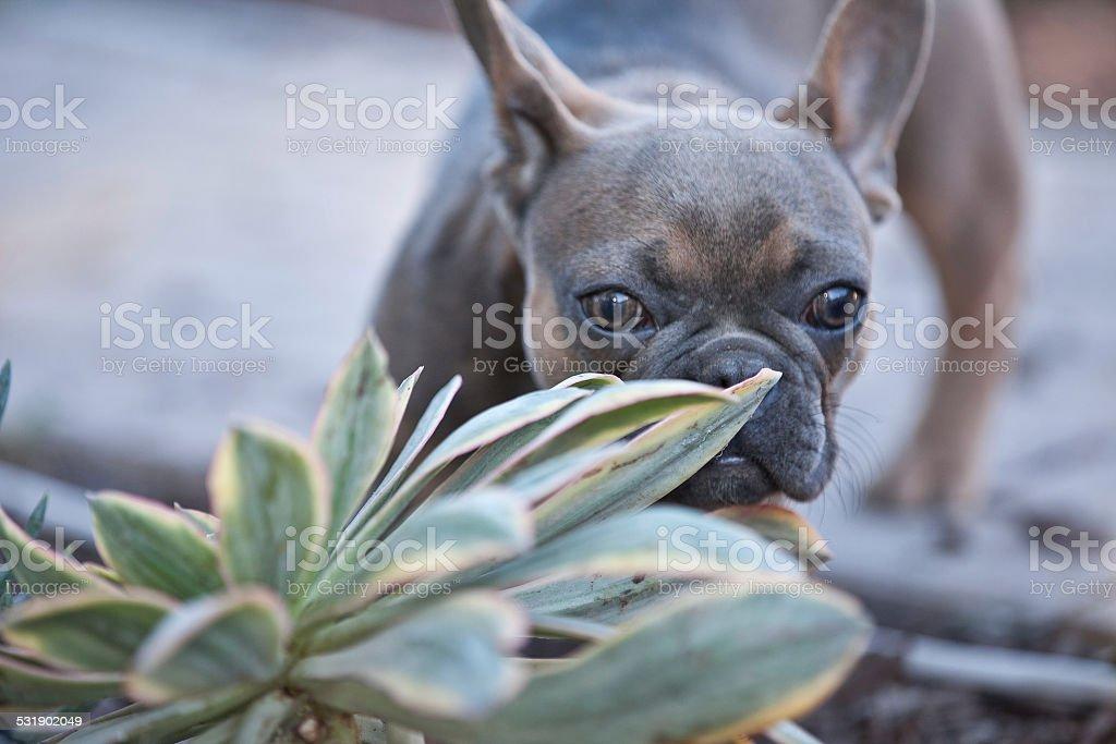 bulldog francés cachorro foto de stock libre de derechos