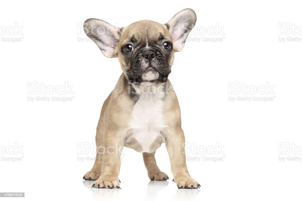 French bulldog puppy portrait stock photo