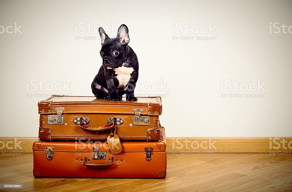 French Bulldog puppy sitting on suitcases stock photo