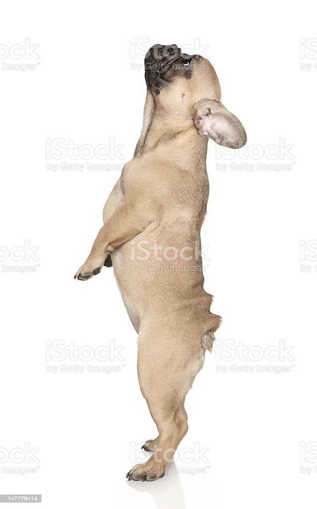 French Bulldog puppy stands on hind legs stock photo