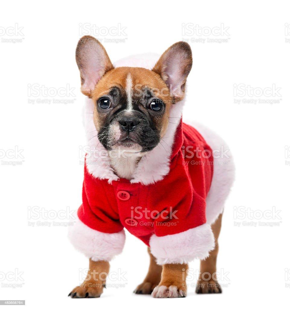 French bulldog puppy wearing a Santa coat stock photo