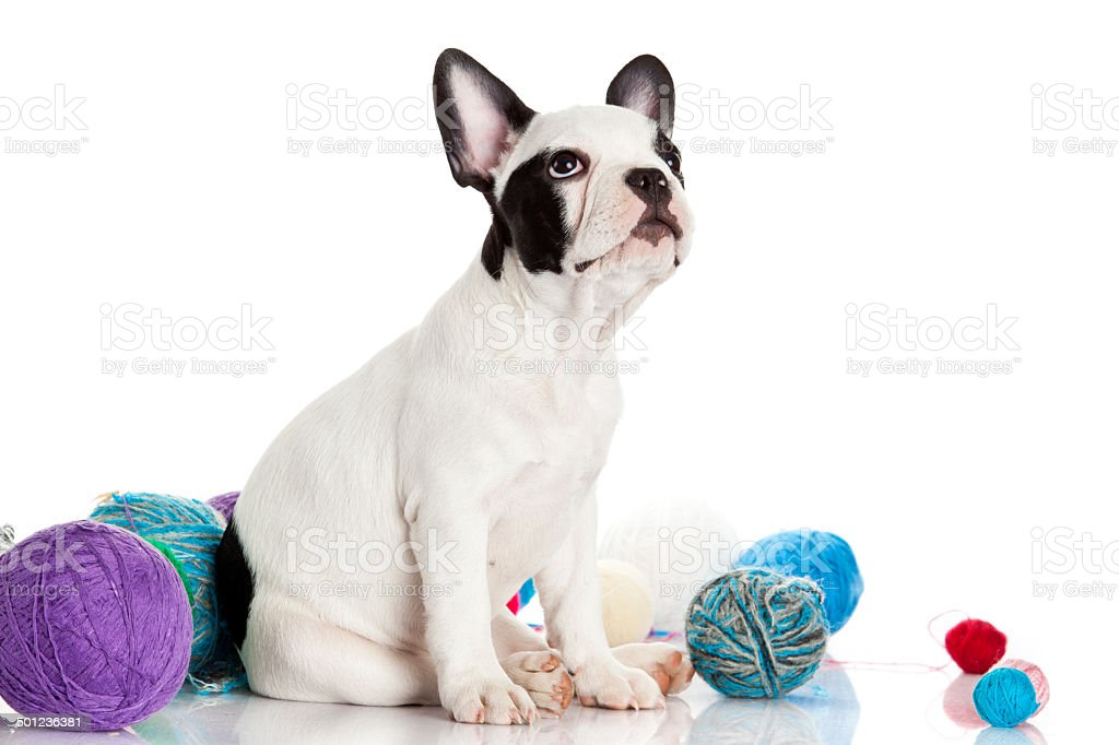 French Bulldog  puppy with a wool balls isolated on white royalty-free stock photo