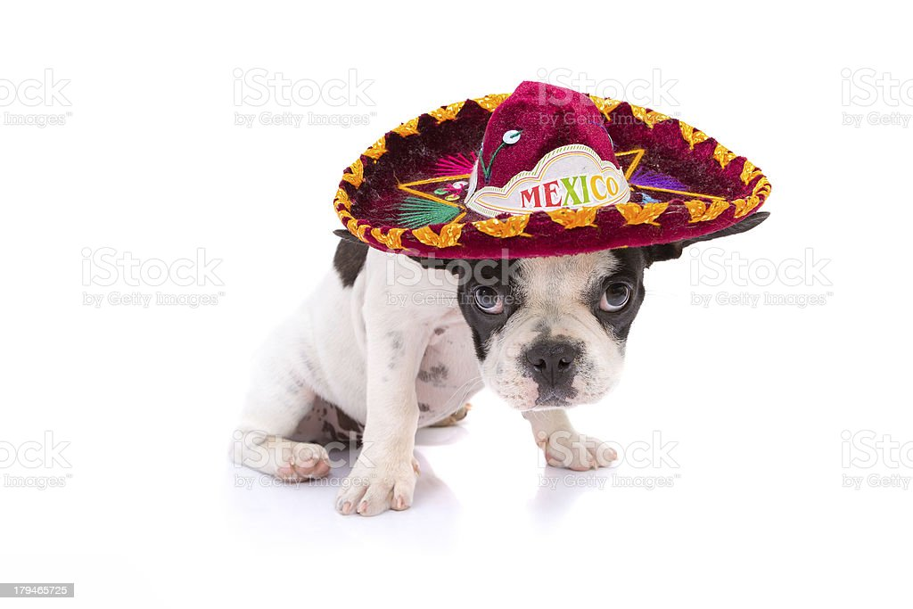 French bulldog puppy with sombrero royalty-free stock photo