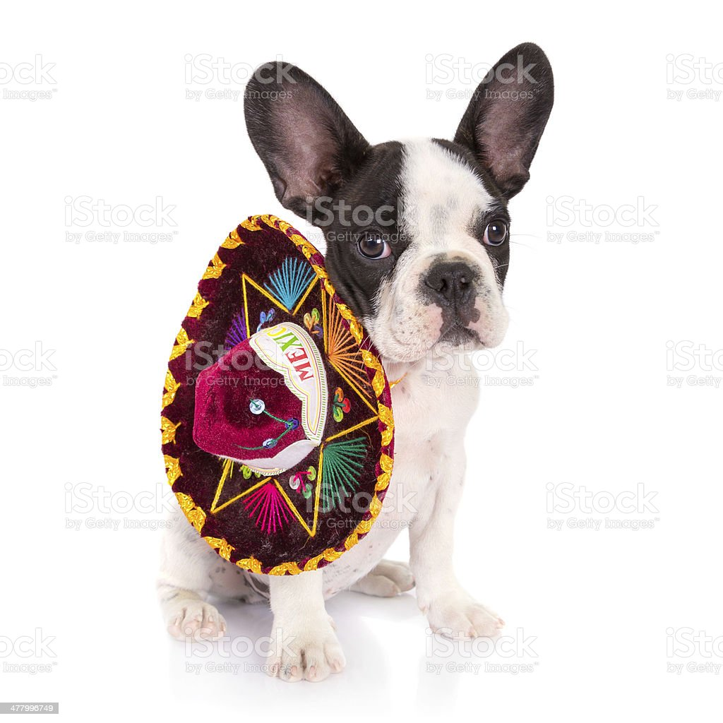 French bulldog puppy with sombrero royalty-free stock photo