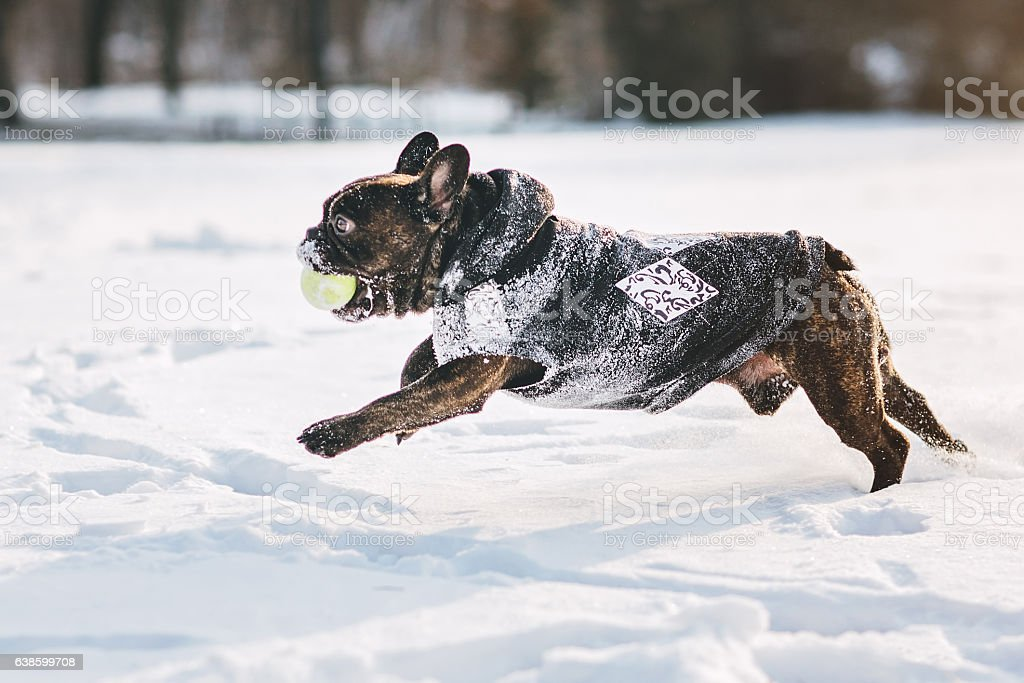 French bulldog running on snow stock photo