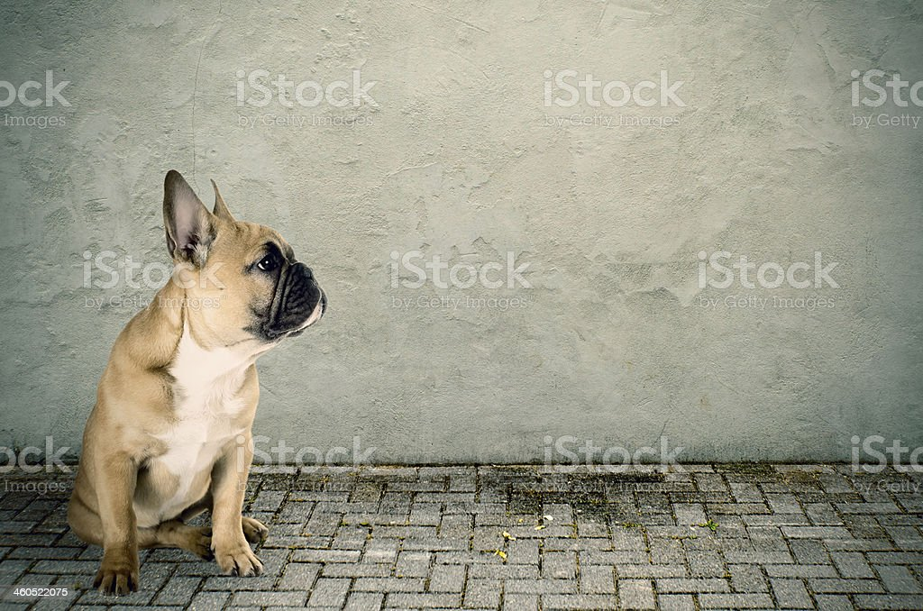 French bulldog sitting on the street stock photo