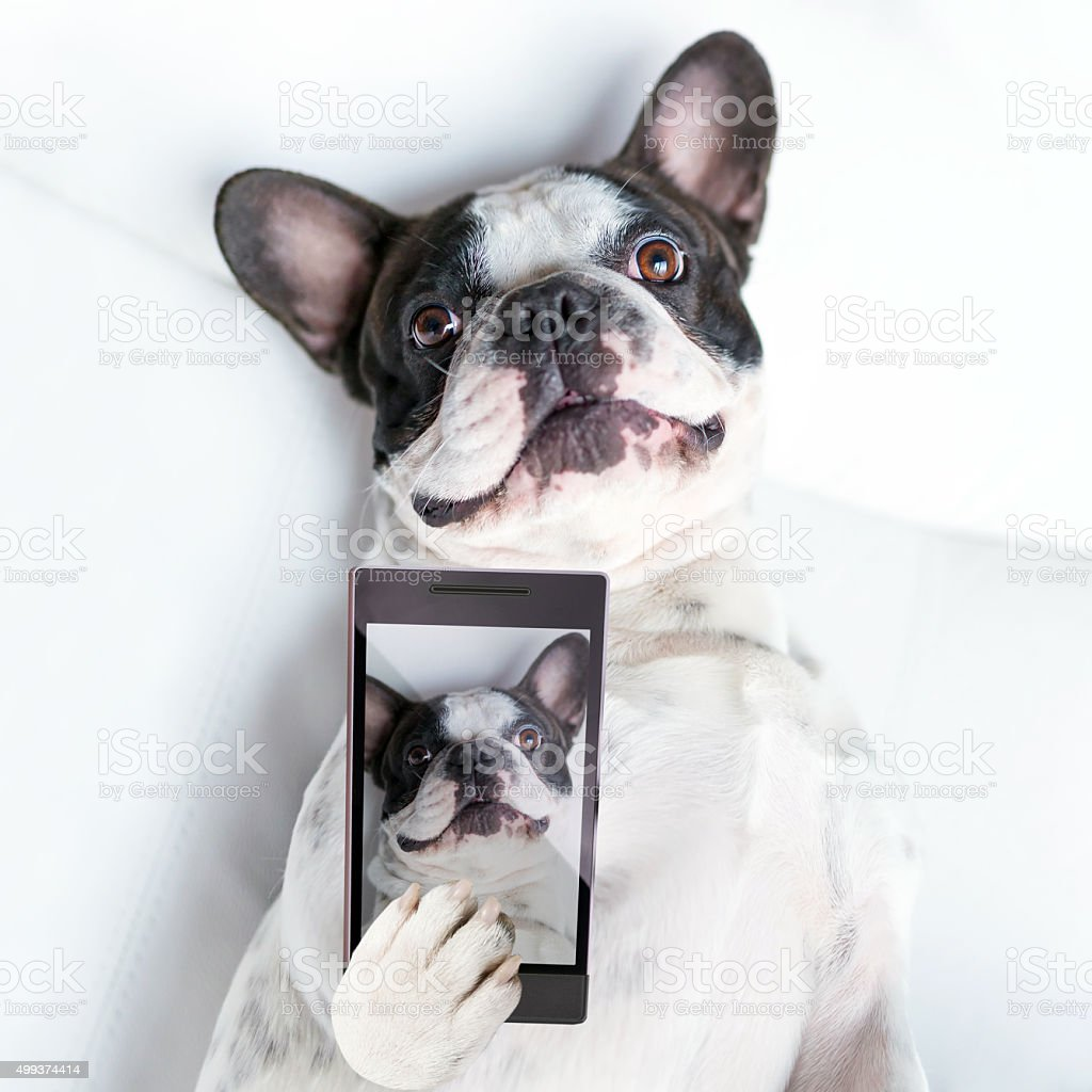 French bulldog taking a selfie stock photo