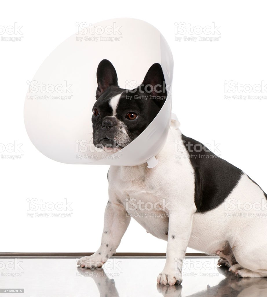 French Bulldog wearing a space collar stock photo