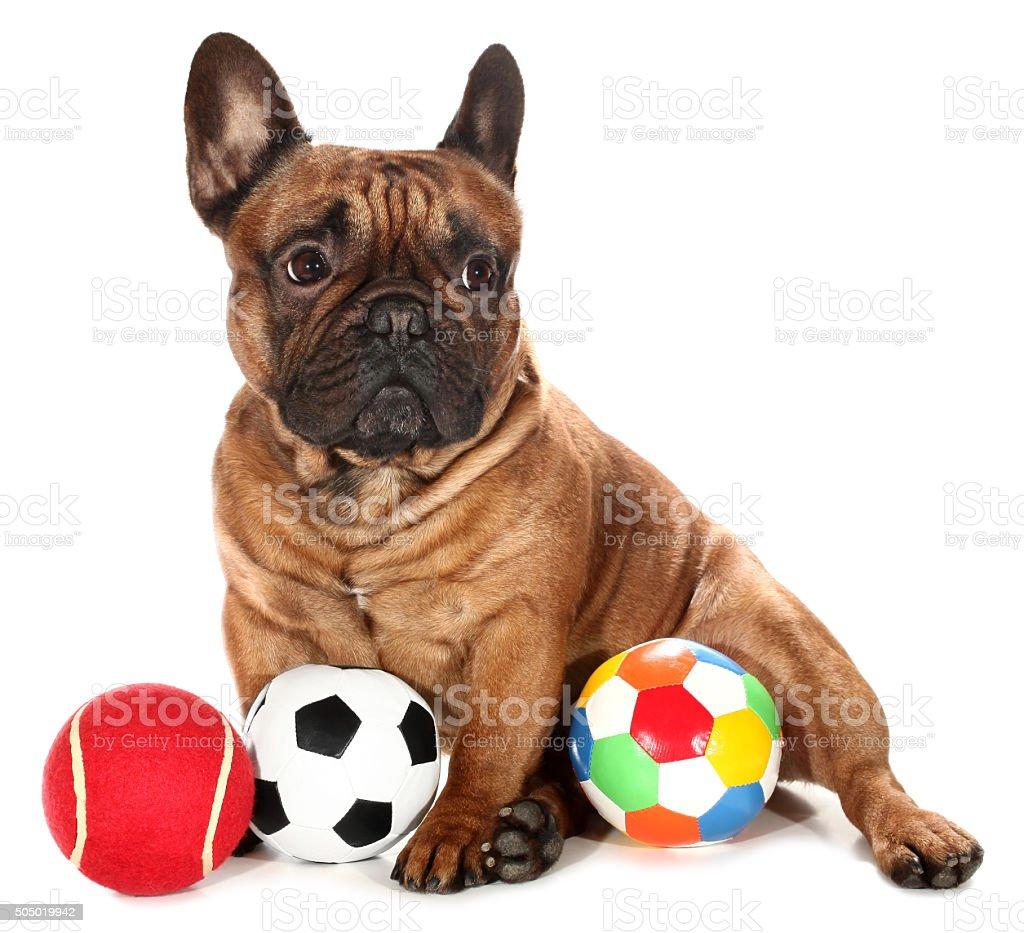 French Bulldog with three balls dog toys stock photo