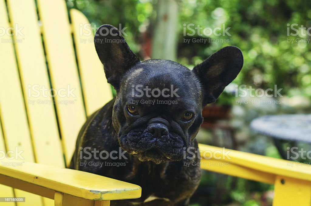 French Bulldog Yellow Chair royalty-free stock photo