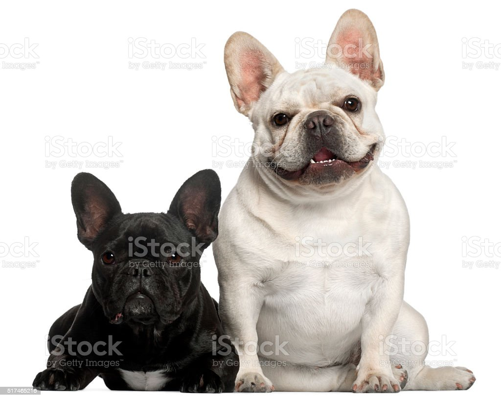 French Bulldogs, 2 years old, in front of white background stock photo