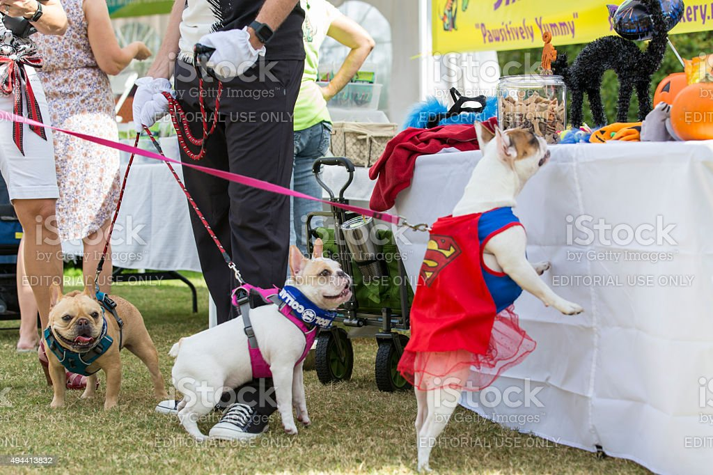 French Bulldogs Looking for Treats at an Event stock photo