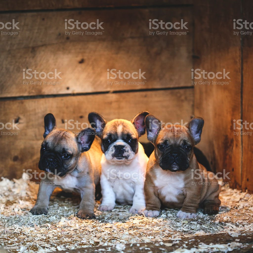 French Bulldogs stock photo