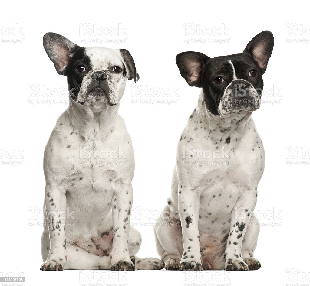 French bulldogs sitting against white background stock photo