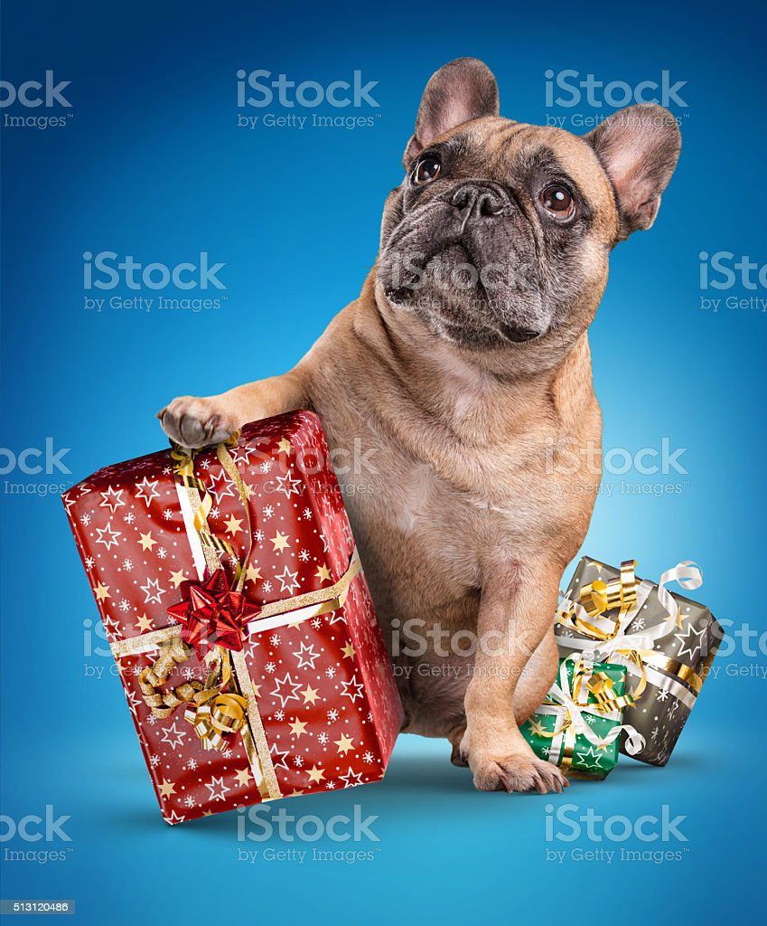 French bulldogs with christmas gifts stock photo