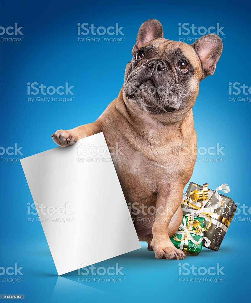 French bulldogs with white board and christmas gifts stock photo