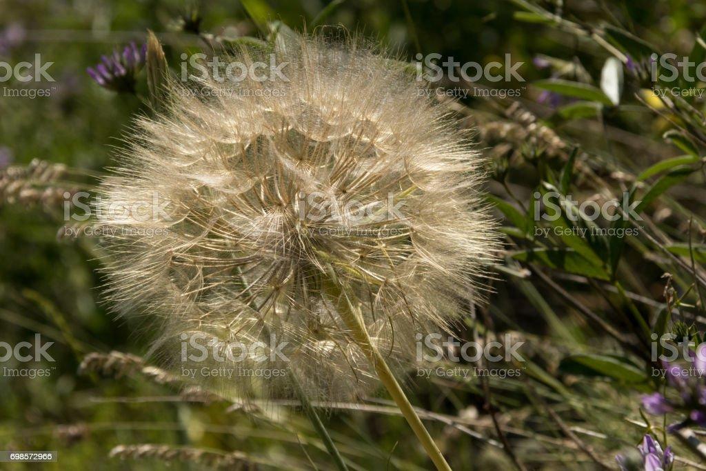 French Dandelions stock photo