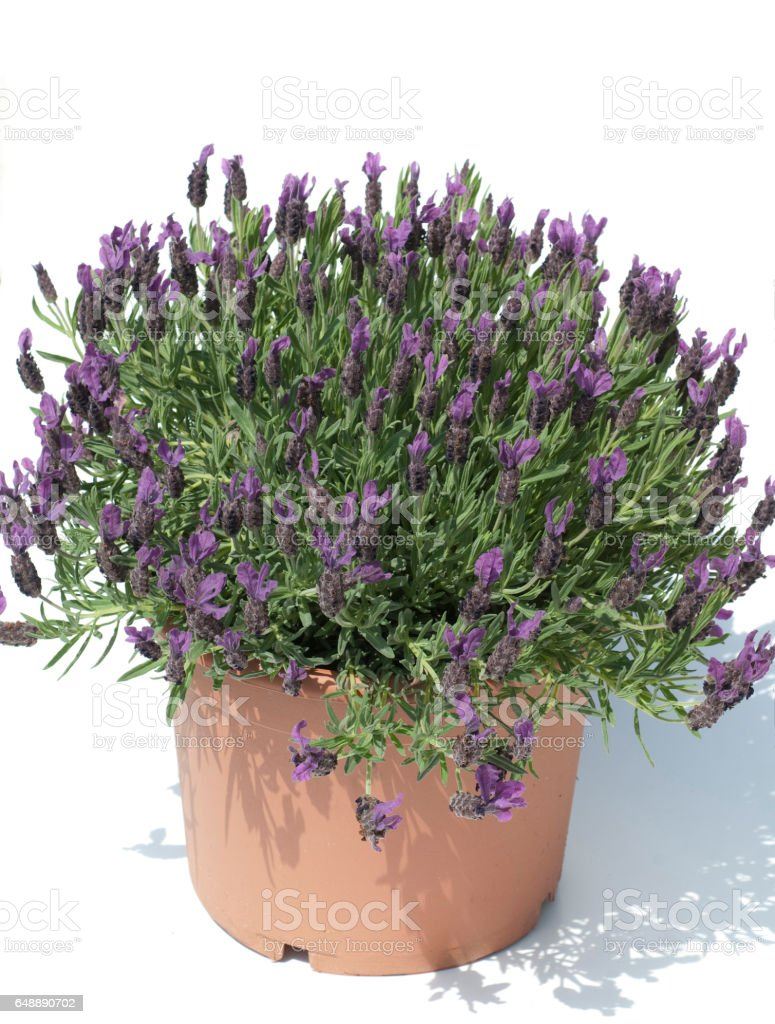 French lavender; Lavandula stoechas stock photo