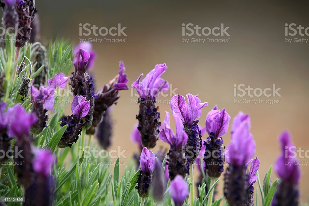 French Lavender royalty-free stock photo