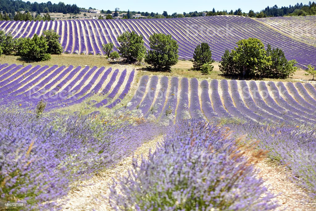 French Lavender stock photo
