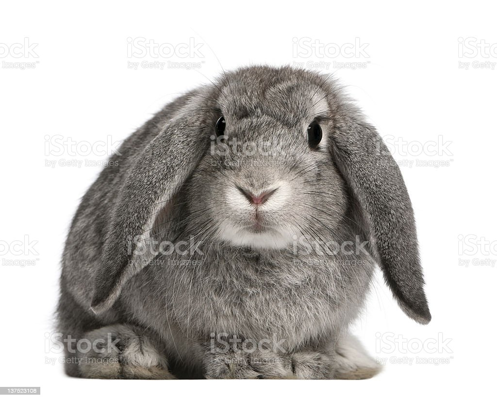 French Lop rabbit, 2 months old, Oryctolagus cuniculus, sitting stock photo