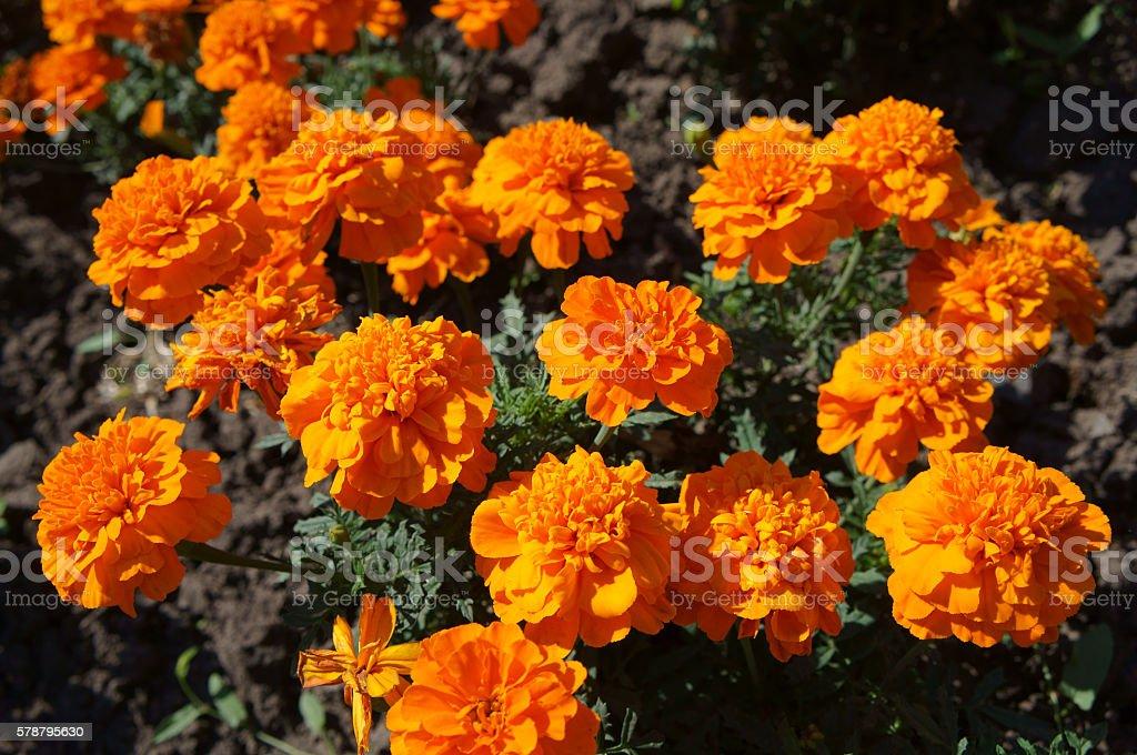 French marigold orange flowers on a sunny day stock photo