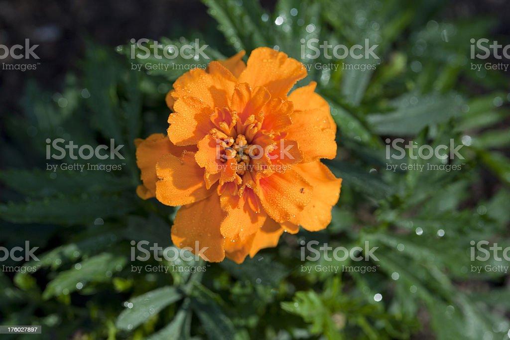 "French Marigold ""Bonanza Orange"" (Tagetes patula) stock photo"