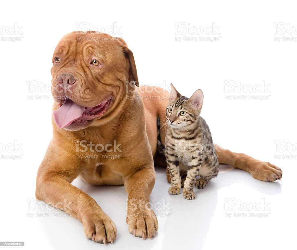 French mastiff and Bengal cat looking away. stock photo