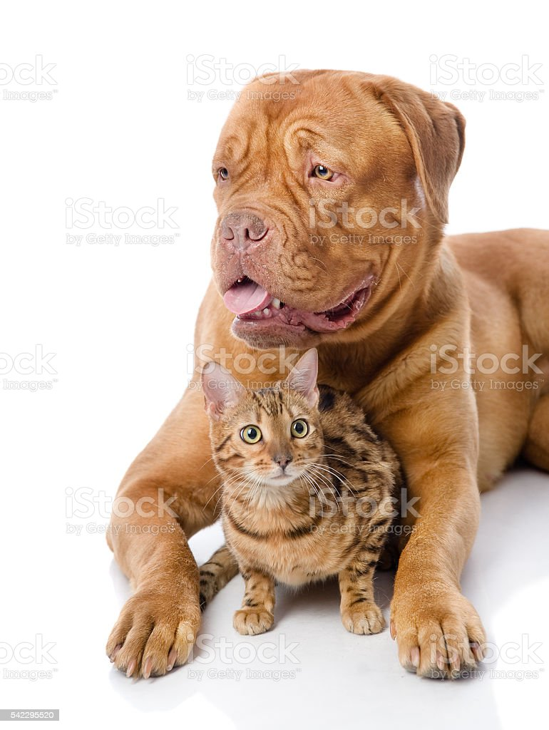French mastiff and Bengal cat lying together. stock photo