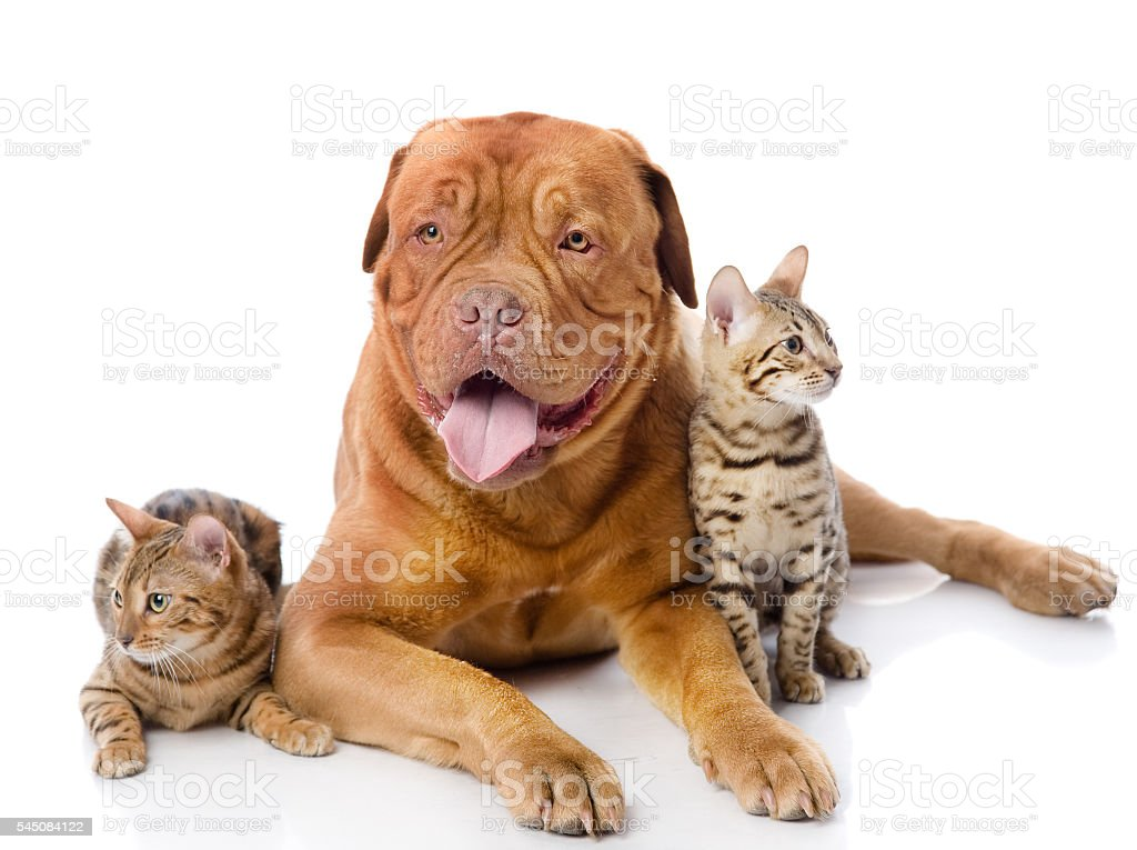 French mastiff and two leopard cats (Prionailurus bengalensis) stock photo