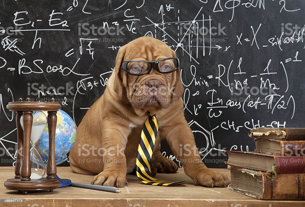 French Mastiff puppy in glasses with books stock photo
