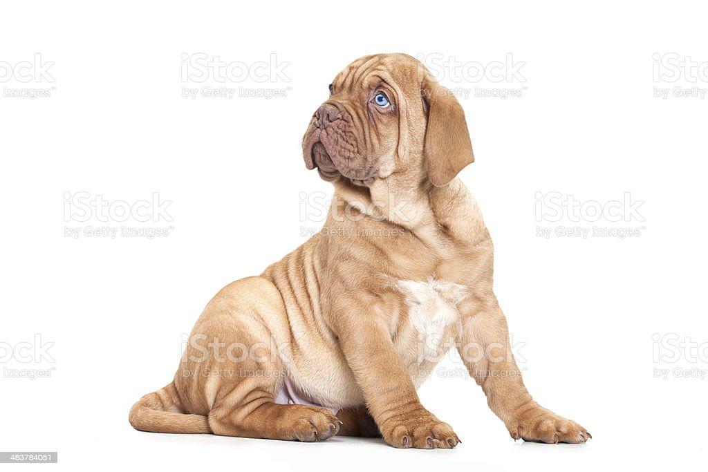 French Mastiff puppy stock photo